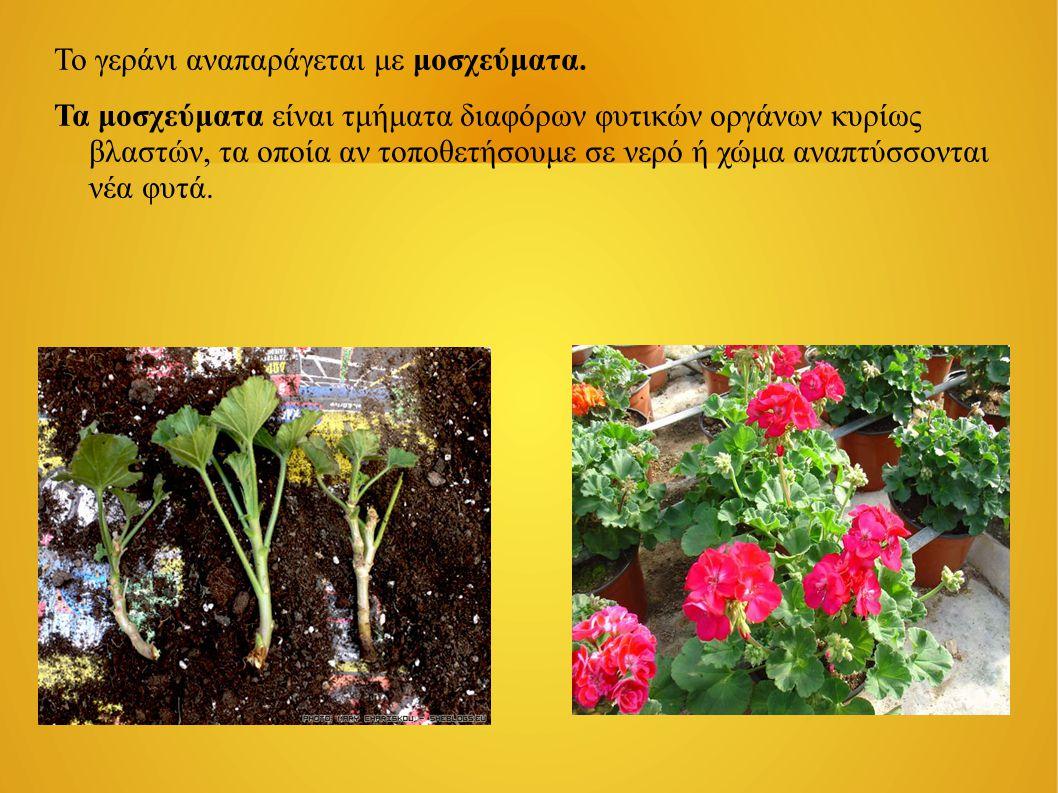 Το γεράνι αναπαράγεται με μοσχεύματα. Τα μοσχεύματα είναι τμήματα διαφόρων φυτικών οργάνων κυρίως βλαστών, τα οποία αν τοποθετήσουμε σε νερό ή χώμα αν