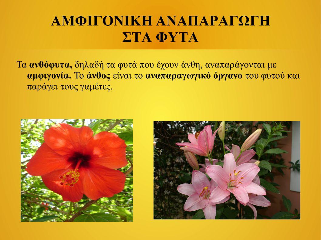 ΑΜΦΙΓΟΝΙΚΗ ΑΝΑΠΑΡΑΓΩΓΗ ΣΤΑ ΦΥΤΑ Τα ανθόφυτα, δηλαδή τα φυτά που έχουν άνθη, αναπαράγονται με αμφιγονία. Το άνθος είναι το αναπαραγωγικό όργανο του φυτ