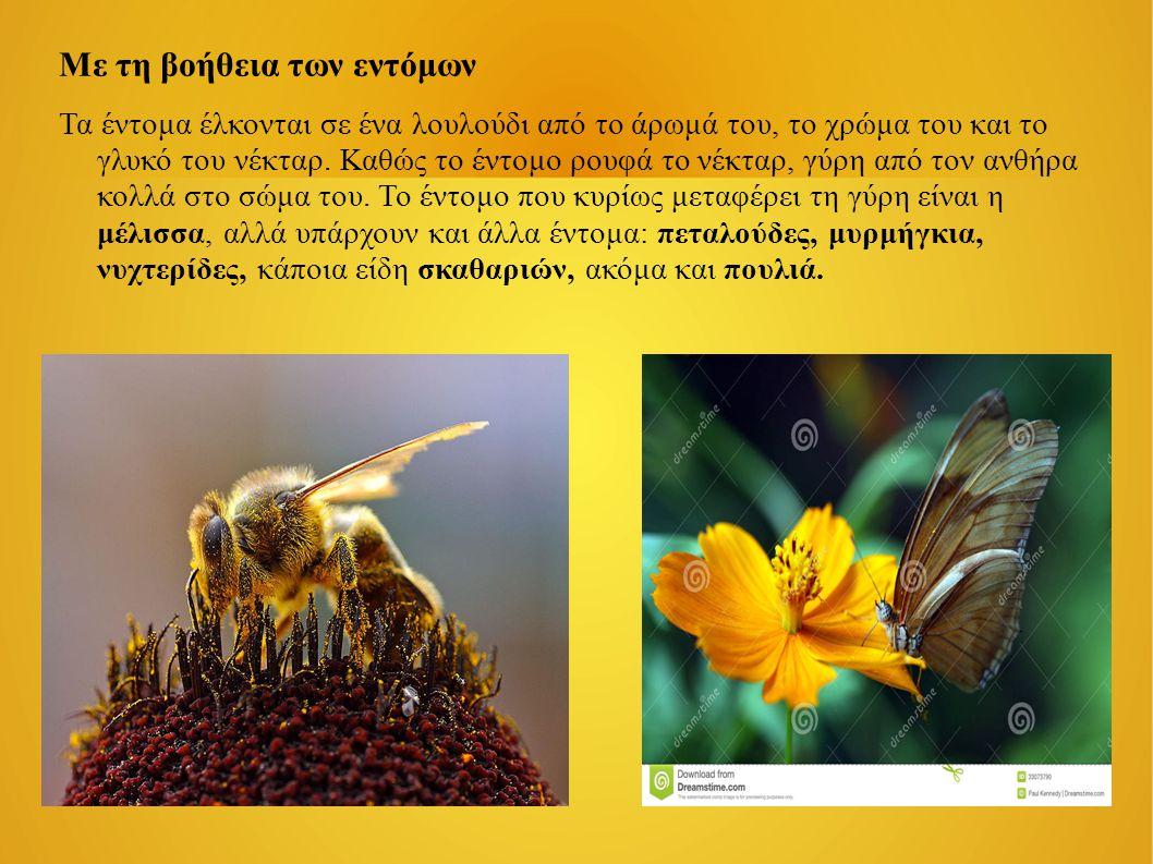 Με τη βοήθεια των εντόμων Τα έντομα έλκονται σε ένα λουλούδι από το άρωμά του, το χρώμα του και το γλυκό του νέκταρ. Καθώς το έντομο ρουφά το νέκταρ,