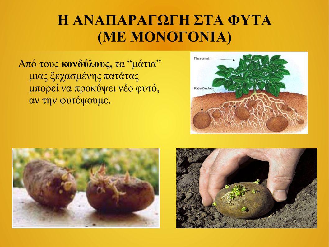 Η ΑΝΑΠΑΡΑΓΩΓΗ ΣΤΑ ΦΥΤΑ (ΜΕ ΜΟΝΟΓΟΝΙΑ) Από τους κονδύλους, τα μάτια μιας ξεχασμένης πατάτας μπορεί να προκύψει νέο φυτό, αν την φυτέψουμε.