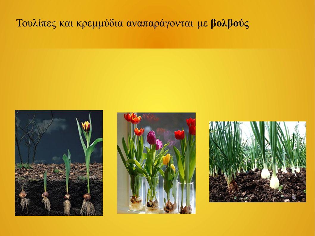 Με τη βοήθεια των εντόμων Τα έντομα έλκονται σε ένα λουλούδι από το άρωμά του, το χρώμα του και το γλυκό του νέκταρ.