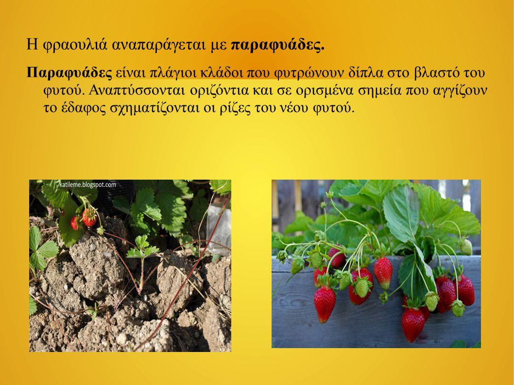 Η φραουλιά αναπαράγεται με παραφυάδες. Παραφυάδες είναι πλάγιοι κλάδοι που φυτρώνουν δίπλα στο βλαστό του φυτού. Αναπτύσσονται οριζόντια και σε ορισμέ