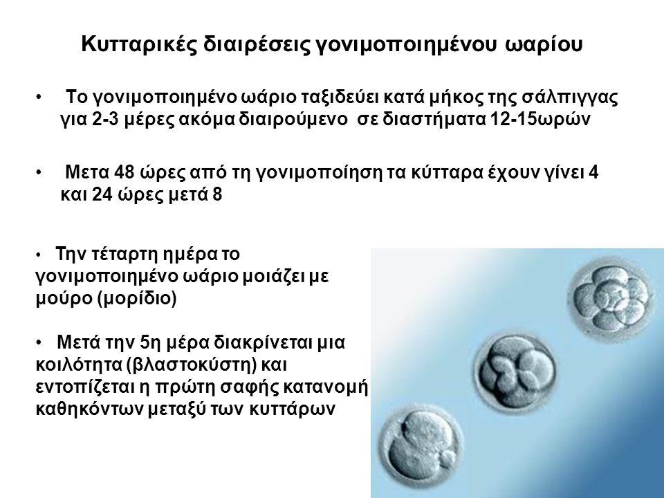 Κυτταρικές διαιρέσεις γονιμοποιημένου ωαρίου Το γονιμοποιημένο ωάριο ταξιδεύει κατά μήκος της σάλπιγγας για 2-3 μέρες ακόμα διαιρούμενο σε διαστήματα 12-15ωρών Μετα 48 ώρες από τη γονιμοποίηση τα κύτταρα έχουν γίνει 4 και 24 ώρες μετά 8 Την τέταρτη ημέρα το γονιμοποιημένο ωάριο μοιάζει με μούρο (μορίδιο) Μετά την 5η μέρα διακρίνεται μια κοιλότητα (βλαστοκύστη) και εντοπίζεται η πρώτη σαφής κατανομή καθηκόντων μεταξύ των κυττάρων