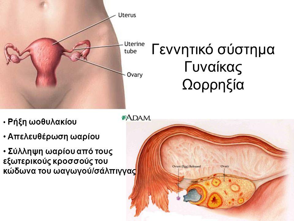 Γεννητικό σύστημα Γυναίκας Ωορρηξία Ρήξη ωοθυλακίου Απελευθέρωση ωαρίου Σύλληψη ωαρίου από τους εξωτερικούς κροσσούς του κώδωνα του ωαγωγού/σάλπιγγας