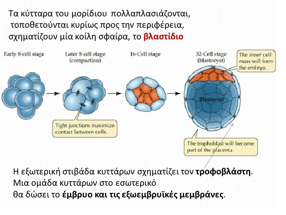 Τα κύτταρα του μορίδιου πολλαπλασιάζονται, τοποθετούνται κυρίως προς την περιφέρεια, σχηματίζουν μία κοίλη σφαίρα, το βλαστίδιο Η εξωτερική στιβάδα κυ