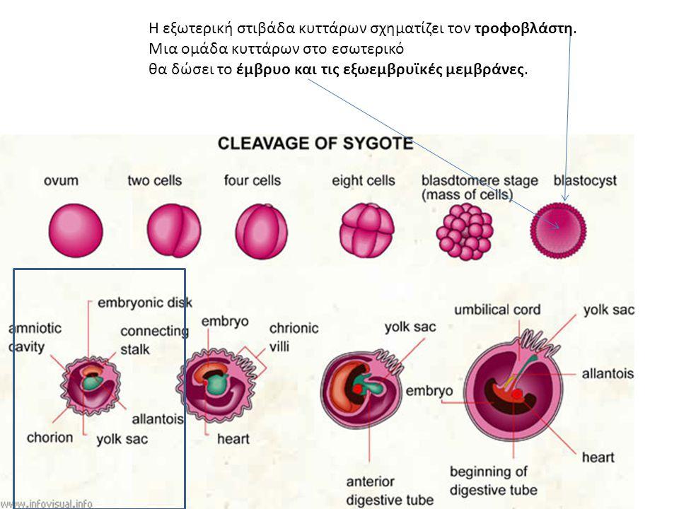 Η εξωτερική στιβάδα κυττάρων σχηματίζει τον τροφοβλάστη. Μια ομάδα κυττάρων στο εσωτερικό θα δώσει το έμβρυο και τις εξωεμβρυϊκές μεμβράνες.