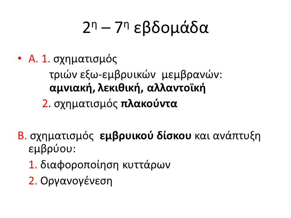 2 η – 7 η εβδομάδα Α. 1. σχηματισμός τριών εξω-εμβρυικών μεμβρανών: αμνιακή, λεκιθική, αλλαντοϊκή 2. σχηματισμός πλακούντα Β. σχηματισμός εμβρυικού δί