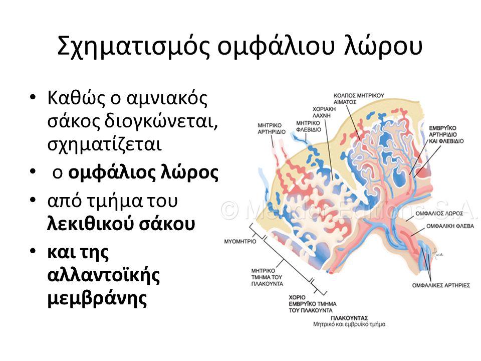 Σχηματισμός ομφάλιου λώρου Καθώς ο αμνιακός σάκος διογκώνεται, σχηματίζεται ο ομφάλιος λώρος από τμήμα του λεκιθικού σάκου και της αλλαντοϊκής μεμβράν
