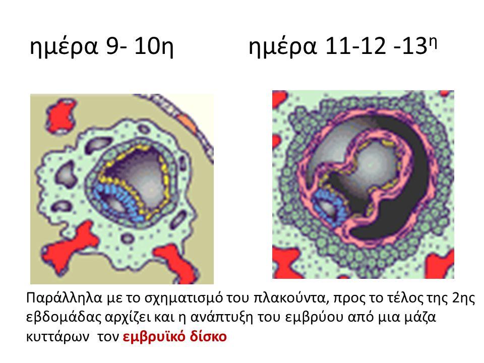 ημέρα 9- 10η ημέρα 11-12 -13 η Παράλληλα με το σχηματισμό του πλακούντα, προς το τέλος της 2ης εβδομάδας αρχίζει και η ανάπτυξη του εμβρύου από μια μά