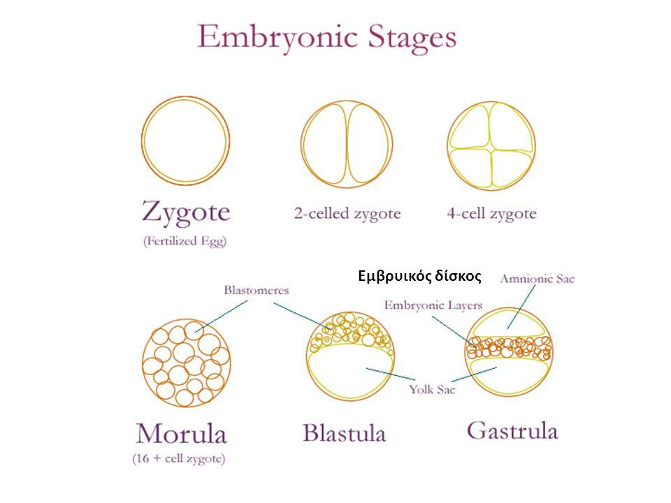 Εμβρυικός δίσκος