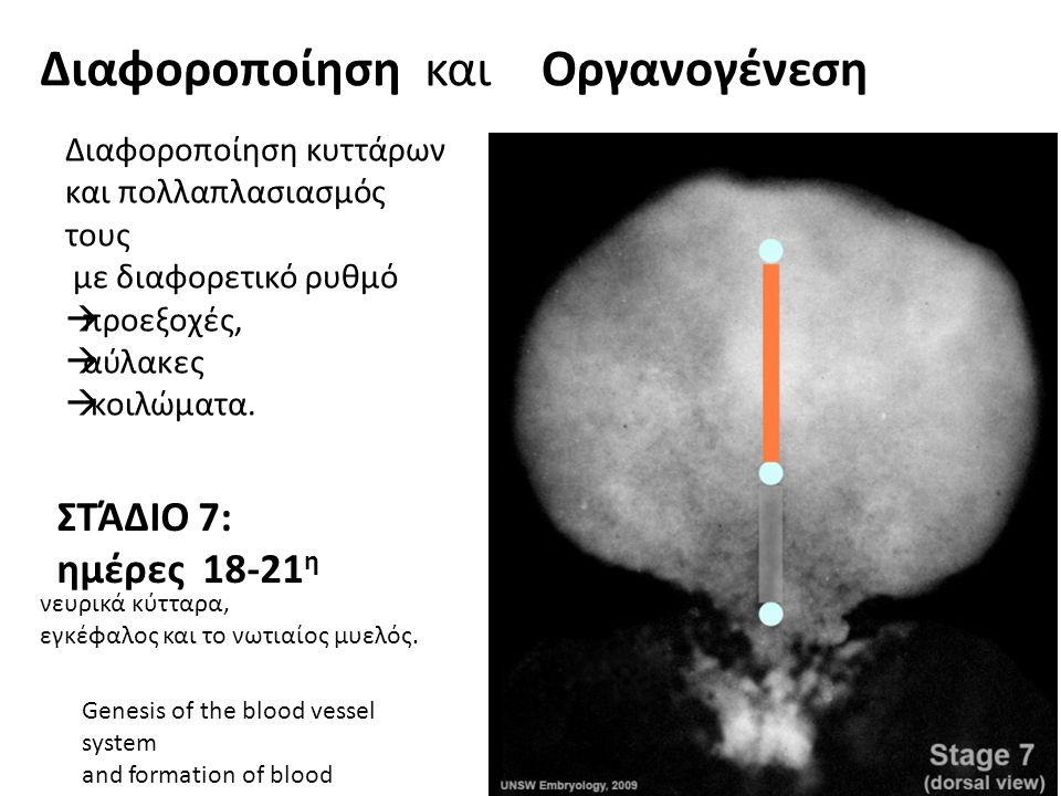 ΣΤΆΔΙΟ 7: ημέρες 18-21 η Genesis of the blood vessel system and formation of blood Διαφοροποίηση και Διαφοροποίηση κυττάρων και πολλαπλασιασμός τους μ