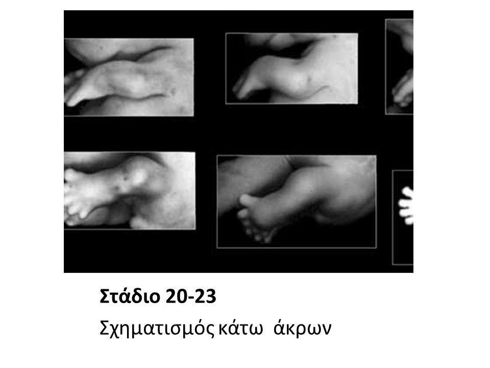 Στάδιο 20-23 Σχηματισμός κάτω άκρων
