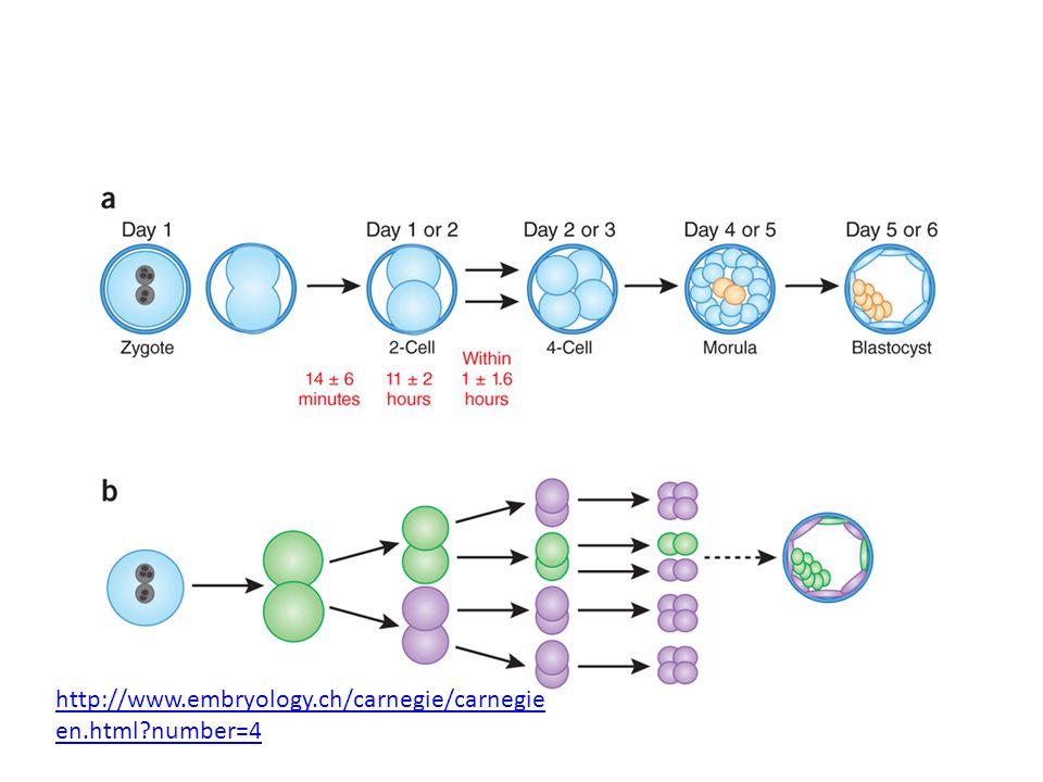 http://www.embryology.ch/carnegie/carnegie en.html?number=4