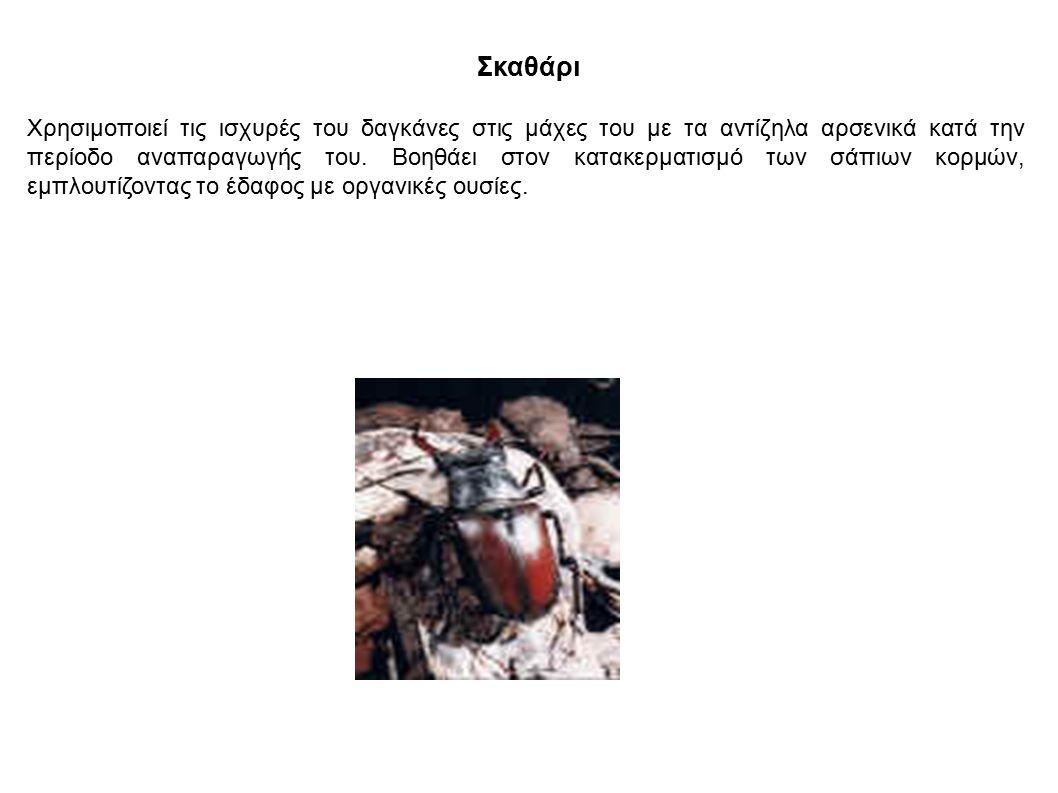 Σκαθάρι Χρησιμοποιεί τις ισχυρές του δαγκάνες στις μάχες του με τα αντίζηλα αρσενικά κατά την περίοδο αναπαραγωγής του. Βοηθάει στον κατακερματισμό τω