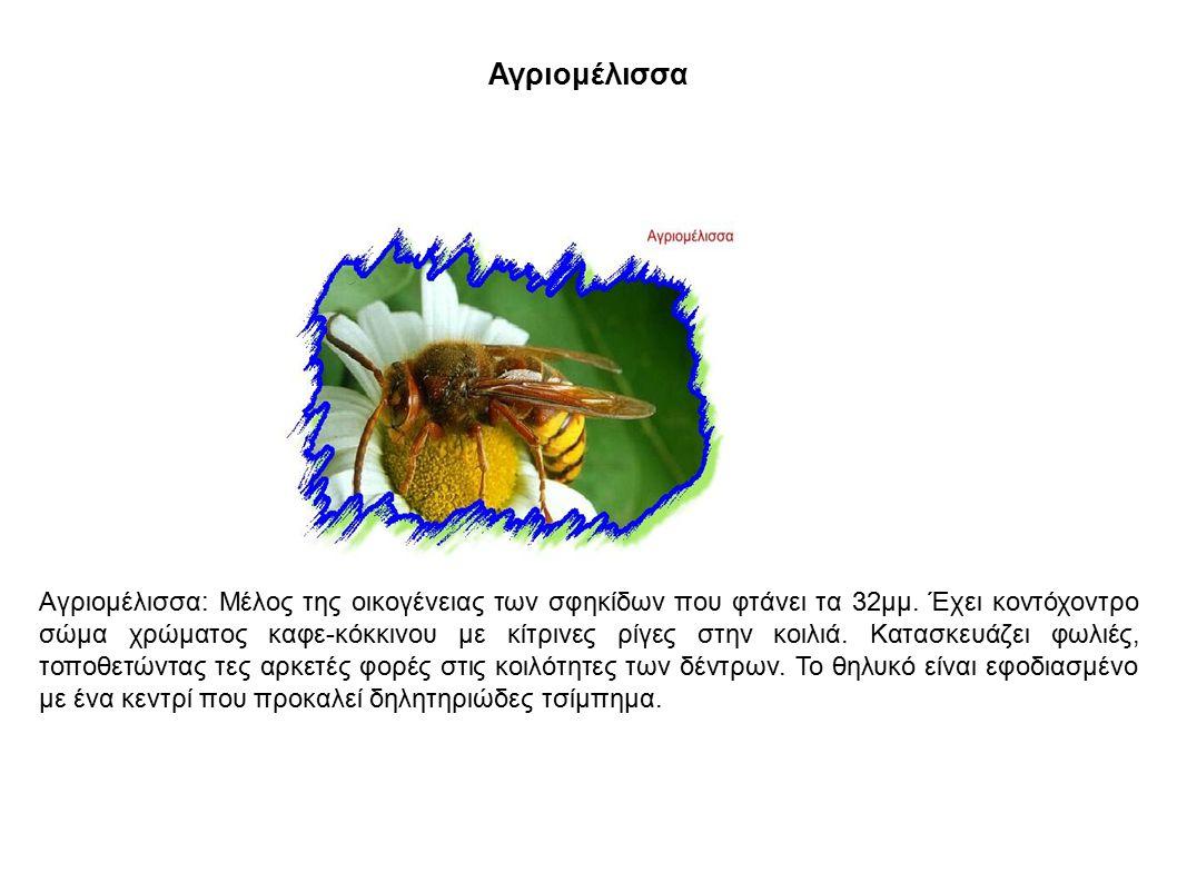 Αγριομέλισσα Αγριομέλισσα: Μέλος της οικογένειας των σφηκίδων που φτάνει τα 32μμ. Έχει κοντόχοντρο σώμα χρώματος καφε-κόκκινου με κίτρινες ρίγες στην