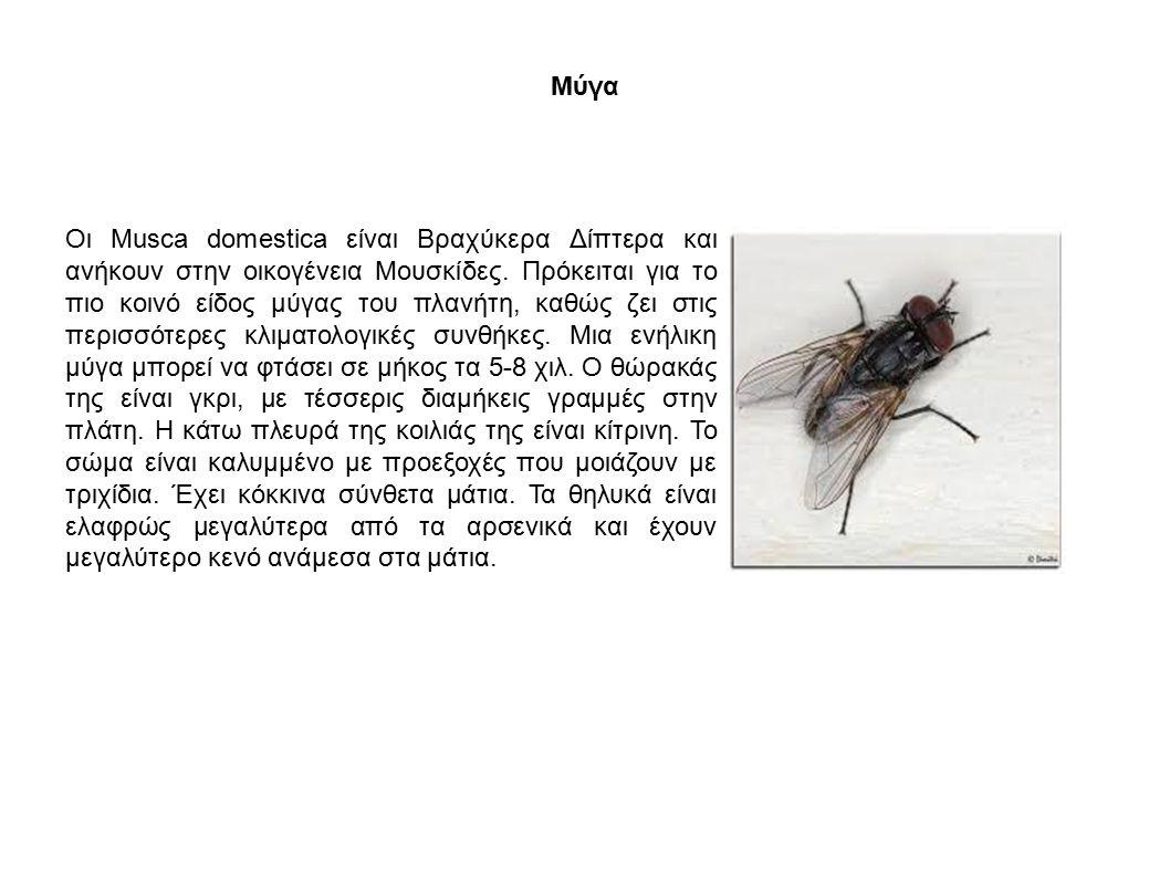 Μύγα Οι Musca domestica είναι Βραχύκερα Δίπτερα και ανήκουν στην οικογένεια Μουσκίδες. Πρόκειται για το πιο κοινό είδος μύγας του πλανήτη, καθώς ζει σ