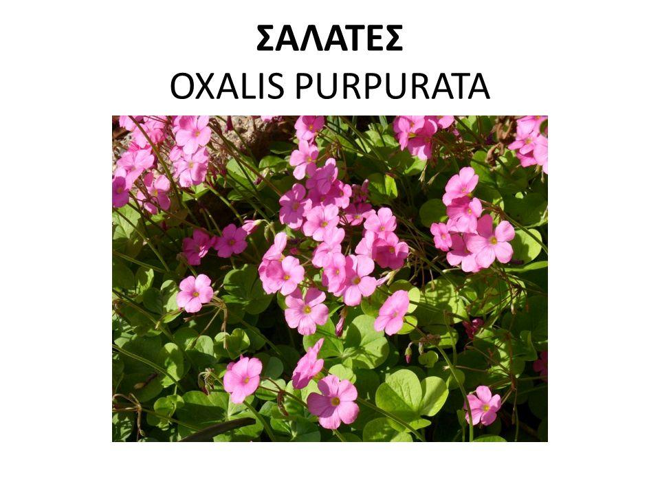 ΣΑΛΑΤΕΣ OXALIS PURPURATA
