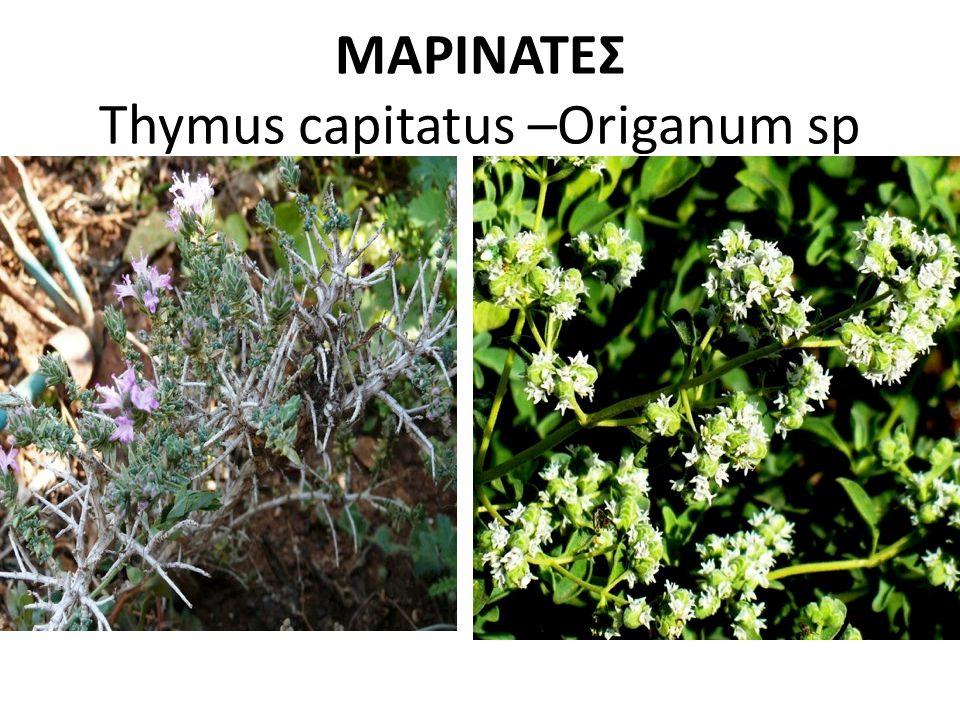 ΜΑΡΙΝΑΤΕΣ Thymus capitatus –Origanum sp
