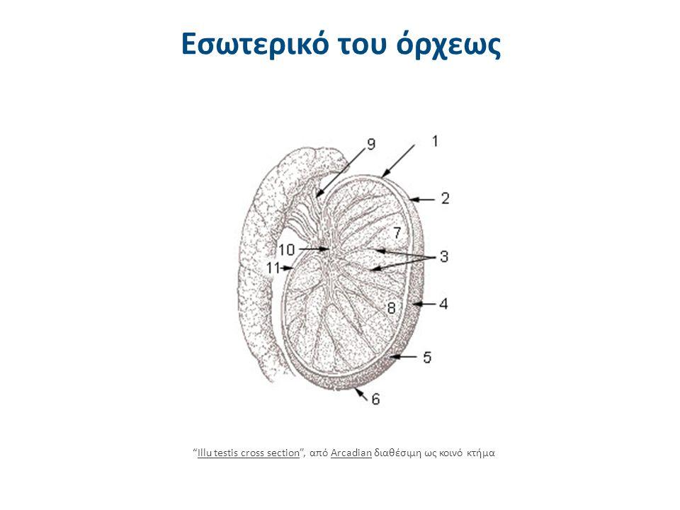 Κρυψορχία 5/5 Με την πάροδο όμως της ηλικίας παρατηρείται βαθμιαία μείωση των λειτουργικών εφεδρειών ως προς την παραγωγή Τ και σε ποσοστό των ανδρών αυτών, ιδιαίτερα με αμφοτερόπλευρη κρυψορχία, παρατηρούνται κλινικά και εργαστηριακά ευρήματα που χαρακτηρίζονται ως «ανδρικό κλιμακτήριο».
