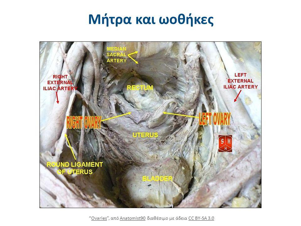"""Μήτρα και ωοθήκες """"Ovaries"""", από Anatomist90 διαθέσιμο με άδεια CC BY-SA 3.0OvariesAnatomist90CC BY-SA 3.0"""