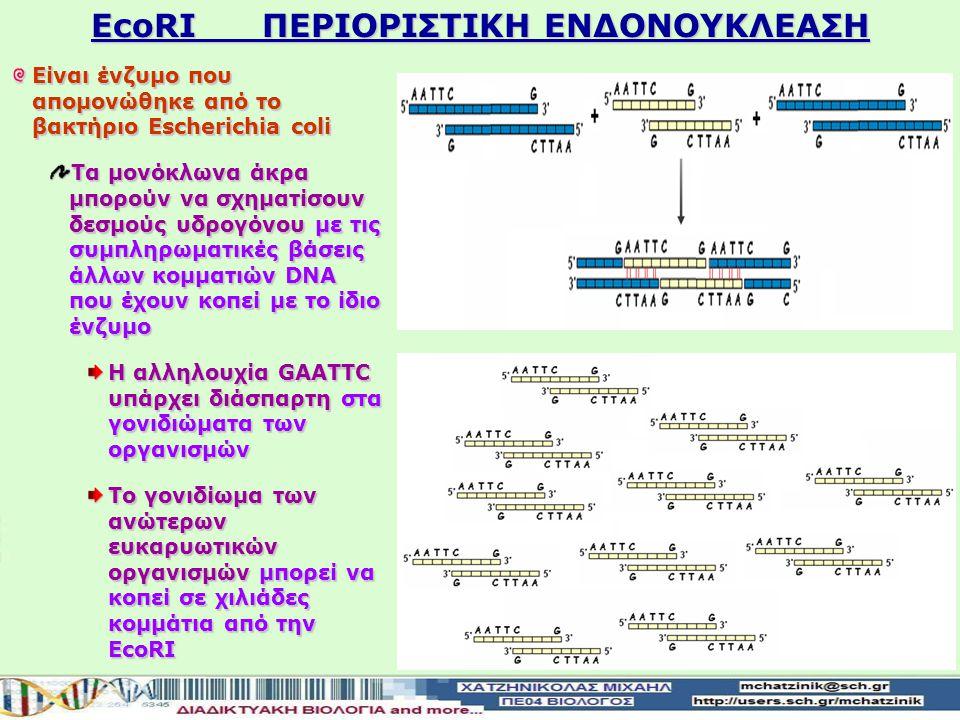ΕcoRI ΠΕΡΙΟΡΙΣΤΙΚΗ ΕΝΔΟΝΟΥΚΛΕΑΣΗ Είναι ένζυμο που απομονώθηκε από το βακτήριο Escherichia coli Τα μονόκλωνα άκρα μπορούν να σχηματίσουν δεσμούς υδρογόνουμε τις συμπληρωματικές βάσεις άλλων κομματιών DNA που έχουν κοπεί με το ίδιο ένζυμο Τα μονόκλωνα άκρα μπορούν να σχηματίσουν δεσμούς υδρογόνου με τις συμπληρωματικές βάσεις άλλων κομματιών DNA που έχουν κοπεί με το ίδιο ένζυμο Η αλληλουχία GAATTC υπάρχει διάσπαρτη στα γονιδιώματα των οργανισμών Το γονιδίωμα των ανώτερων ευκαρυωτικών οργανισμών μπορεί να κοπεί σε χιλιάδες κομμάτια από την ΕcoRI