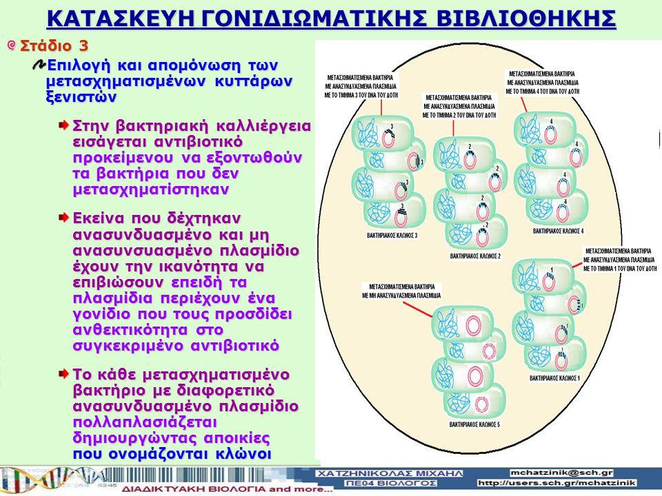 Στάδιο 3 Επιλογή και απομόνωση των μετασχηματισμένων κυττάρων ξενιστών Στην βακτηριακή καλλιέργεια εισάγεται αντιβιοτικό προκείμενου να εξοντωθούν τα βακτήρια που δεν μετασχηματίστηκαν Εκείνα που δέχτηκαν ανασυνδυασμένο και μη ανασυνσυασμένο πλασμίδιο έχουν την ικανότητα να επιβιώσουν επειδή τα πλασμίδια περιέχουν ένα γονίδιο που τους προσδίδει ανθεκτικότητα στο συγκεκριμένο αντιβιοτικό Το κάθε μετασχηματισμένο βακτήριο με διαφορετικό ανασυνδυασμένο πλασμίδιο πολλαπλασιάζεται δημιουργώντας αποικίες που ονομάζονται κλώνοι KATAΣΚΕΥΗ ΓΟΝΙΔΙΩΜΑΤΙΚΗΣ ΒΙΒΛΙΟΘΗΚΗΣ