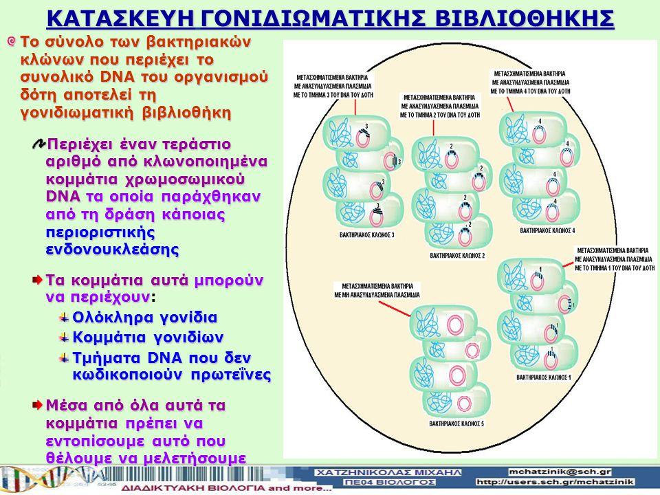 Στάδιο 3 Επιλογή και απομόνωση των μετασχηματισμένων κυττάρων ξενιστών Στην βακτηριακή καλλιέργεια εισάγεται αντιβιοτικό προκείμενου να εξοντωθούν τα