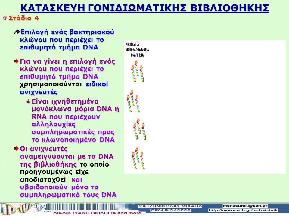KATAΣΚΕΥΗ ΓΟΝΙΔΙΩΜΑΤΙΚΗΣ ΒΙΒΛΙΟΘΗΚΗΣ Στάδιο 4 Επιλογή ενός βακτηριακού κλώνου που περιέχει το επιθυμητό τμήμα DNA Για να γίνει η επιλογή ενός κλώνου που περιέχει το επιθυμητό τμήμα DNA ειδικοί ανιχνευτές Για να γίνει η επιλογή ενός κλώνου που περιέχει το επιθυμητό τμήμα DNA χρησιμοποιούνται ειδικοί ανιχνευτές Είναι ιχνηθετημένα μονόκλωνα μόρια DNA ή RNA που περιέχουν αλληλουχίες συμπληρωματικές προς το κλωνοποιημένο DNA Οι ανιχνευτές αναμειγνύονται με το DNA της βιβλιοθήκης και υβριδοποιούν μόνο το συμπληρωματικό τους DNA Οι ανιχνευτές αναμειγνύονται με το DNA της βιβλιοθήκης το οποίο προηγουμένως είχε αποδιαταχθεί και υβριδοποιούν μόνο το συμπληρωματικό τους DNA