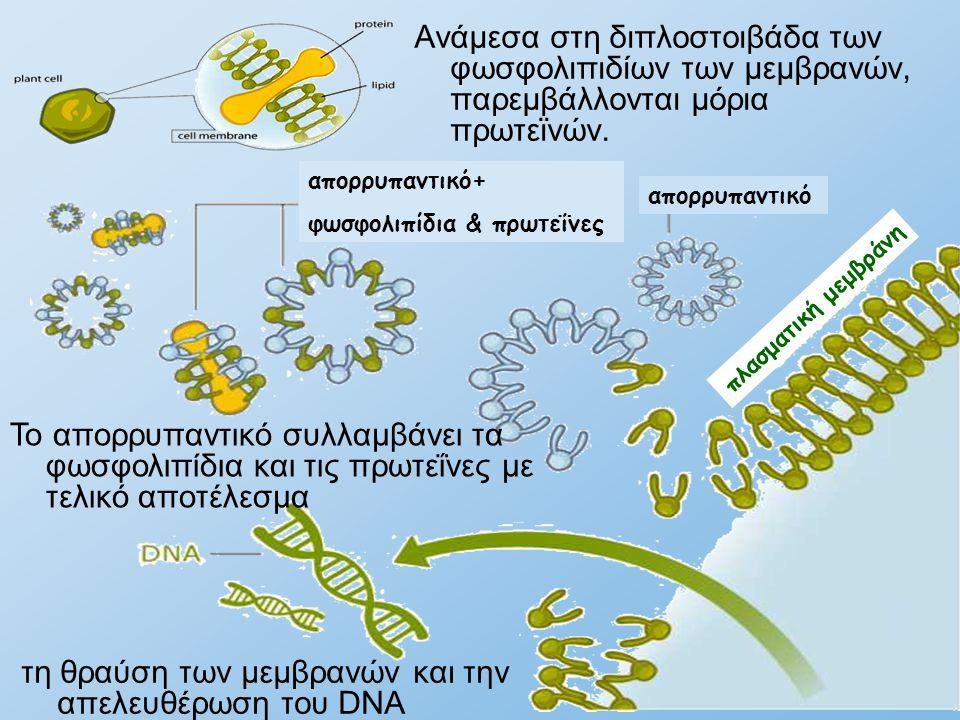 Ανάμεσα στη διπλοστοιβάδα των φωσφολιπιδίων των μεμβρανών, παρεμβάλλονται μόρια πρωτεϊνών. Το απορρυπαντικό συλλαμβάνει τα φωσφολιπίδια και τις πρωτεΐ