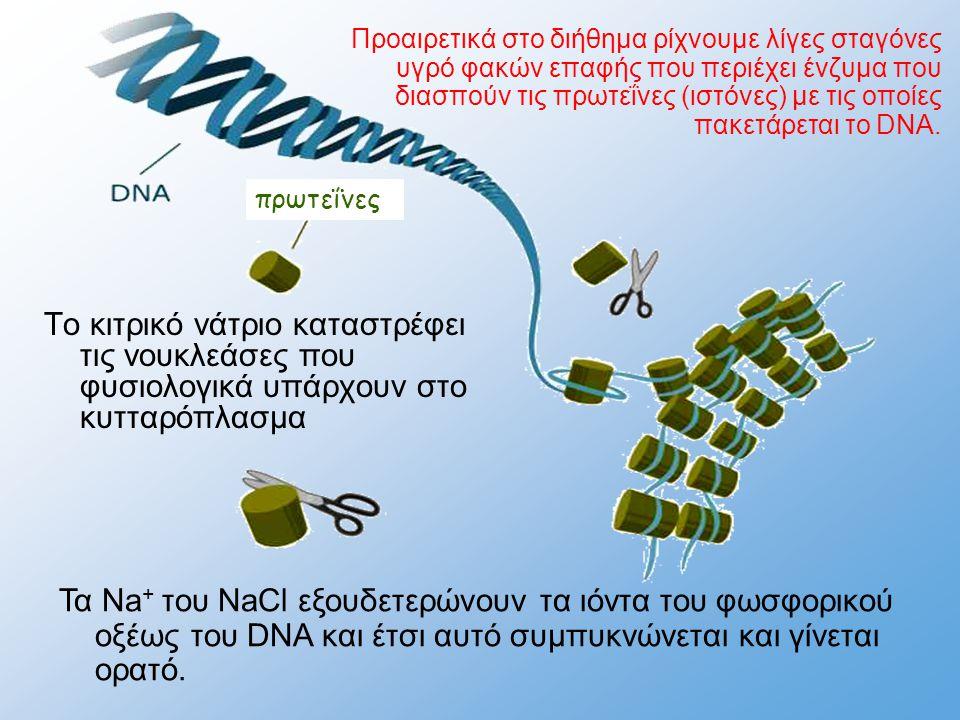 πρωτεΐνες Τα Na + του NaCl εξουδετερώνουν τα ιόντα του φωσφορικού οξέως του DNA και έτσι αυτό συμπυκνώνεται και γίνεται ορατό. Το κιτρικό νάτριο κατασ