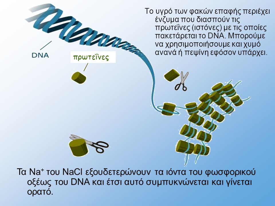 πρωτεΐνες Το υγρό των φακών επαφής περιέχει ένζυμα που διασπούν τις πρωτεΐνες (ιστόνες) με τις οποίες πακετάρεται το DNA. Μπορούμε να χρησιμοποιήσουμε