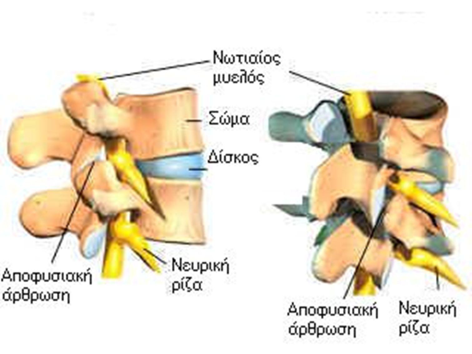 ΣΠΟΝΔΥΛΙΚΗ ΣΤΗΛΗ Βρίσκεται πίσω και στο μέσο της ραχιαίας επιφάνειας του σώματος.