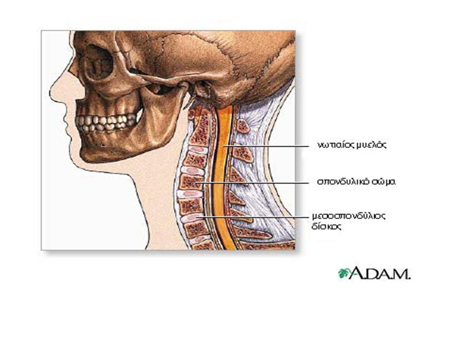 Κοινά γνωρίσματα των σπονδύλων Το σπονδυλικό σώμα : κυλινδρικό μπροστινό μέρος κάθε σπονδύλου.