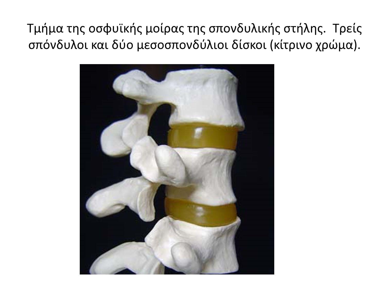 Τμήμα της οσφυϊκής μοίρας της σπονδυλικής στήλης. Τρείς σπόνδυλοι και δύο μεσοσπονδύλιοι δίσκοι (κίτρινο χρώμα).