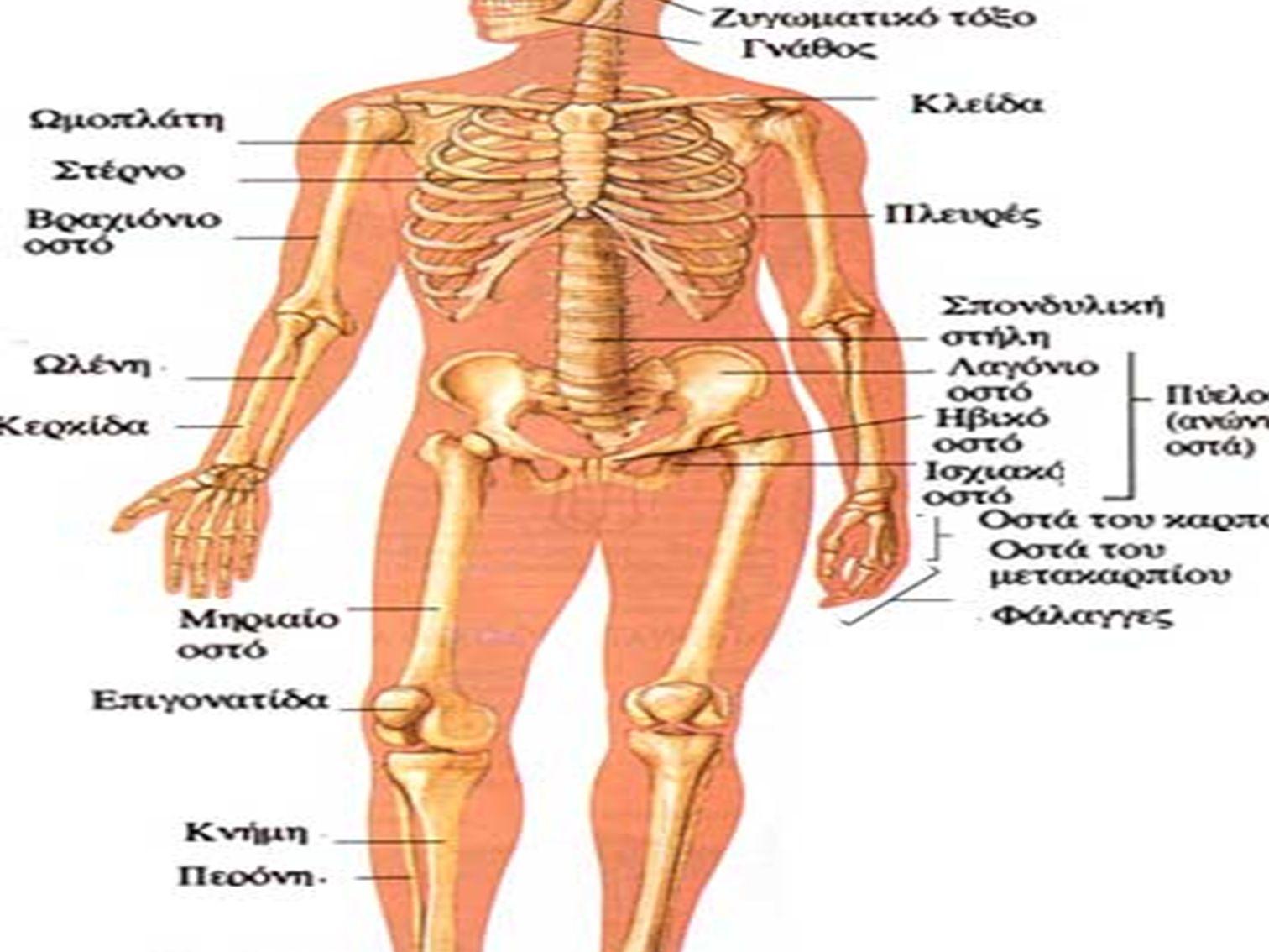 ΜΕΛΕΤΗ ΤΟΥ ΣΚΕΛΕΤΟΥ Σκελετό του κορμού: Οστά κρανίου 22 Υοειδές οστό 1 Οστά θώρακα 25 Σπονδυλική στήλη 26 -74 Σκελετός άκρων: Οστά άνω άκρων 64.