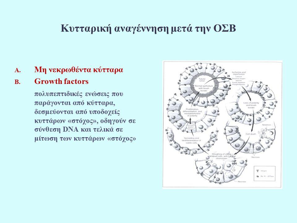 Κυτταρική αναγέννηση μετά την ΟΣΒ A. Μη νεκρωθέντα κύτταρα B.