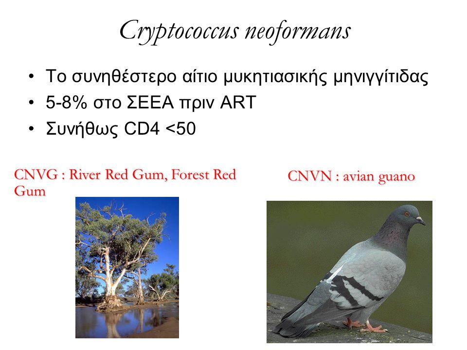 Cryptococcus neoformans Το συνηθέστερο αίτιο μυκητιασικής μηνιγγίτιδας 5-8% στο ΣΕΕΑ πριν ART Συνήθως CD4 <50 CNVG : River Red Gum, Forest Red Gum CNV