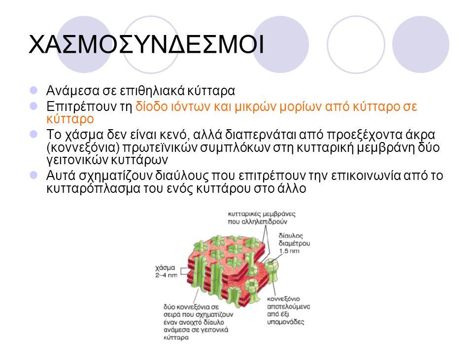 ΧΑΣΜΟΣΥΝΔΕΣΜΟΙ Ανάμεσα σε επιθηλιακά κύτταρα Επιτρέπουν τη δίοδο ιόντων και μικρών μορίων από κύτταρο σε κύτταρο Το χάσμα δεν είναι κενό, αλλά διαπερν