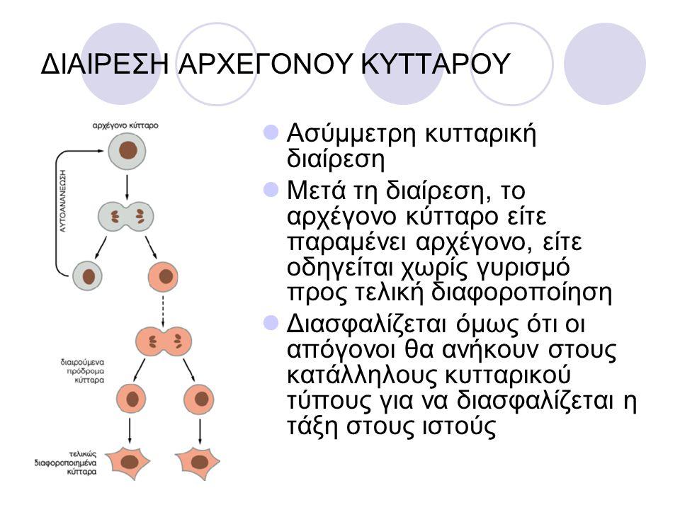 ΔΙΑΙΡΕΣΗ ΑΡΧΕΓΟΝΟΥ ΚΥΤΤΑΡΟΥ Ασύμμετρη κυτταρική διαίρεση Μετά τη διαίρεση, το αρχέγονο κύτταρο είτε παραμένει αρχέγονο, είτε οδηγείται χωρίς γυρισμό π