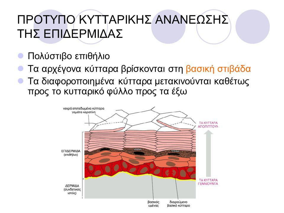 ΠΡΟΤΥΠΟ ΚΥΤΤΑΡΙΚΗΣ ΑΝΑΝΕΩΣΗΣ ΤΗΣ ΕΠΙΔΕΡΜΙΔΑΣ Πολύστιβο επιθήλιο Τα αρχέγονα κύτταρα βρίσκονται στη βασική στιβάδα Τα διαφοροποιημένα κύτταρα μετακινού