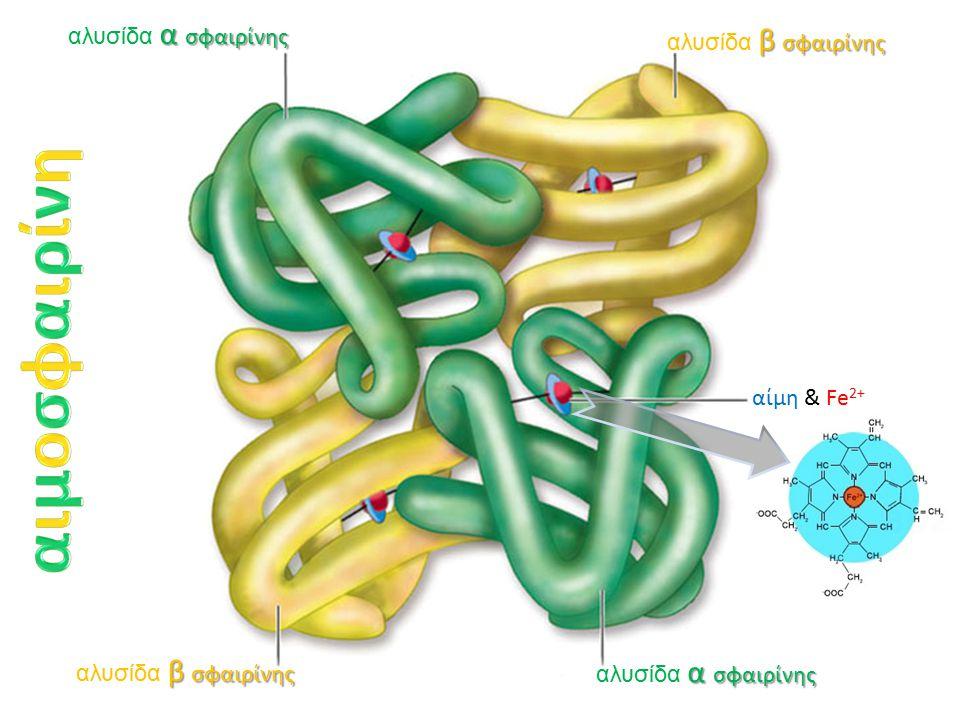 α σφαιρίνης αλυσίδα α σφαιρίνης β σφαιρίνης αλυσίδα β σφαιρίνης α σφαιρίνης αλυσίδα α σφαιρίνης β σφαιρίνης αλυσίδα β σφαιρίνης αίμη & Fe 2+