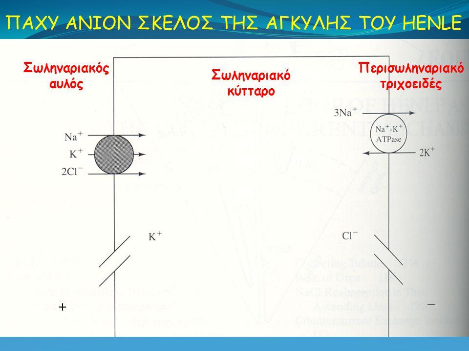 Σωληναριακός αυλός Περισωληναριακό τριχοειδές ΠΑΧΥ ΑΝΙΟΝ ΣΚΕΛΟΣ ΤΗΣ ΑΓΚΥΛΗΣ ΤΟΥ HENLE Σωληναριακό κύτταρο + _