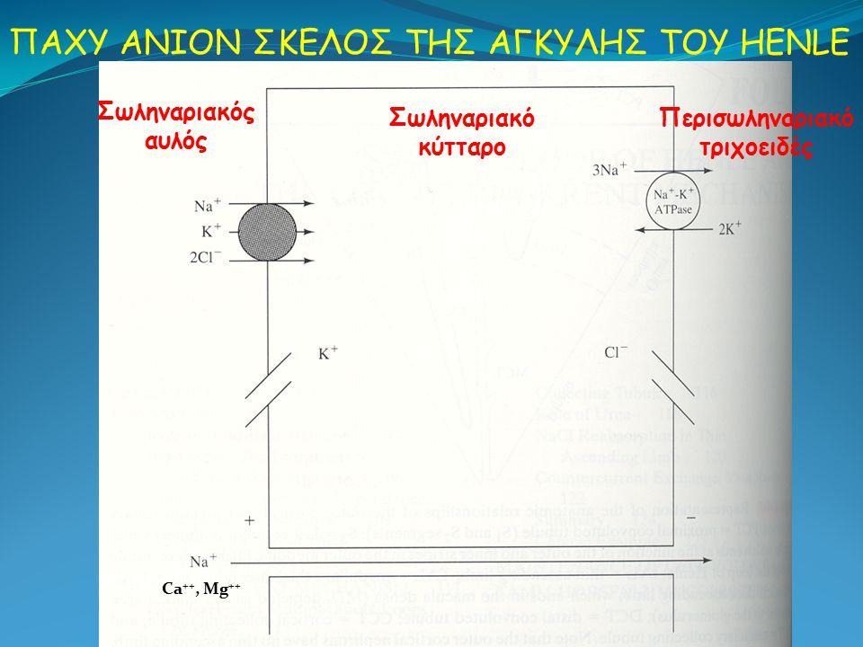 Σωληναριακός αυλός Περισωληναριακό τριχοειδές ΠΑΧΥ ΑΝΙΟΝ ΣΚΕΛΟΣ ΤΗΣ ΑΓΚΥΛΗΣ ΤΟΥ HENLE Ca ++, Mg ++ Σωληναριακό κύτταρο
