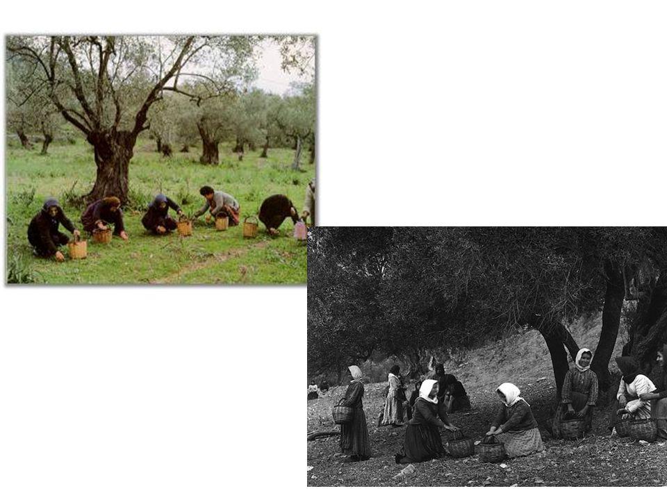 2.Συλλογή με ραβδισμό Για την εφαρμογή της μεθόδου, χρησιμοποιούνται μακριά ραβδιά από εύκαμπτο ξύλο, που ονομάζονται βέργες, με τα οποία χτυπούν τα κλαδιά με ελιές και έτσι πέφτουν οι ελιές στα λεγόμενα λιόπανα ή ελαιόπανα που είναι στρωμένα στο έδαφος κάτω από την ελιά.