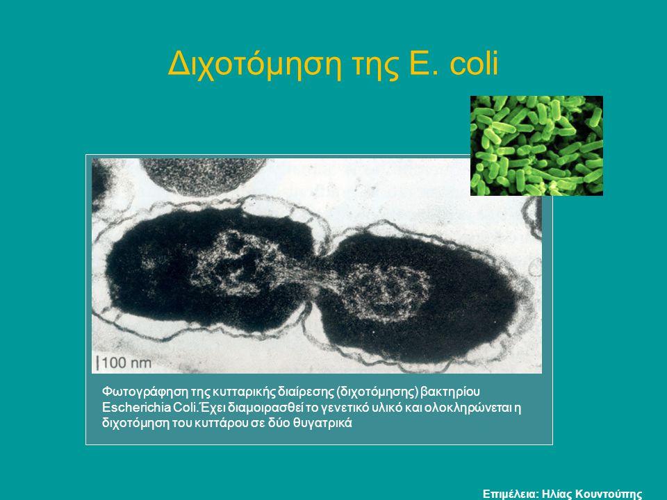 Διχοτόμηση της E. coli Φωτογράφηση της κυτταρικής διαίρεσης (διχοτόμησης) βακτηρίου Escherichia Coli.Έχει διαμοιρασθεί το γενετικό υλικό και ολοκληρών