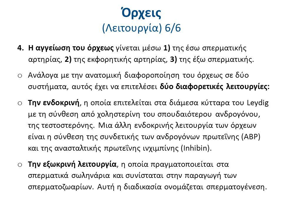 Όρχεις (Λειτουργία) 6/6 4.Η αγγείωση του όρχεως γίνεται μέσω 1) της έσω σπερματικής αρτηρίας, 2) της εκφορητικής αρτηρίας, 3) της έξω σπερματικής. o Α