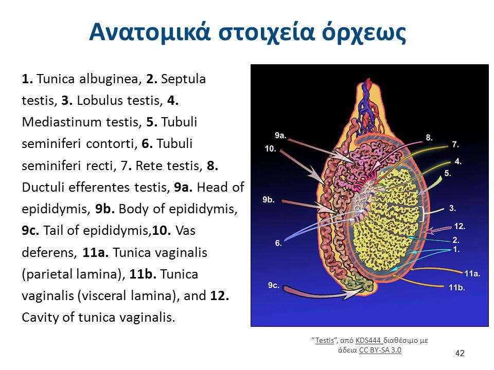 Ανατομικά στοιχεία όρχεως 1. Tunica albuginea, 2. Septula testis, 3. Lobulus testis, 4. Mediastinum testis, 5. Tubuli seminiferi contorti, 6. Tubuli s