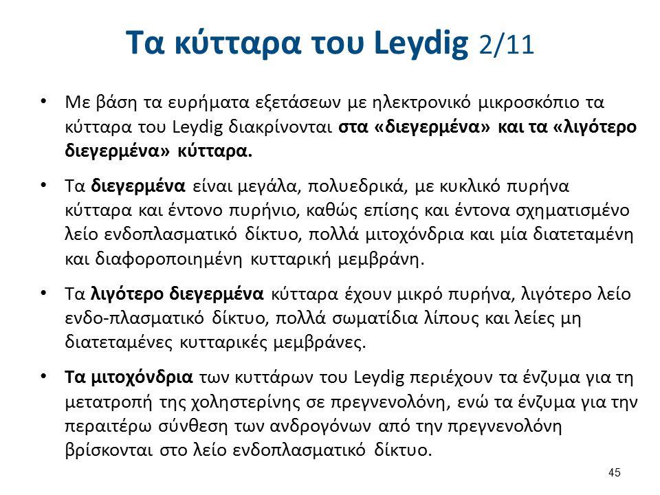 Τα κύτταρα του Leydig 2/11 Με βάση τα ευρήματα εξετάσεων με ηλεκτρονικό μικροσκόπιο τα κύτταρα του Leydig διακρίνονται στα «διεγερμένα» και τα «λιγότε