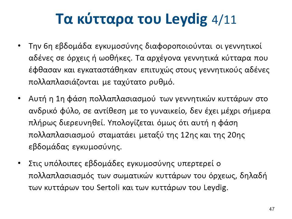 Τα κύτταρα του Leydig 4/11 Την 6η εβδομάδα εγκυμοσύνης διαφοροποιούνται οι γεννητικοί αδένες σε όρχεις ή ωοθήκες. Τα αρχέγονα γεννητικά κύτταρα που έφ