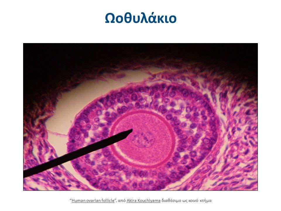"""Ωοθυλάκιο """"Human ovarian follicle"""", από Akira Kouchiyama διαθέσιμο ως κοινό κτήμαHuman ovarian follicleAkira Kouchiyama"""